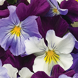 ANYTIME™ Sugarplum Pansiola (Viola)