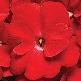 INFINITY® Red Improved New Guinea Impatiens