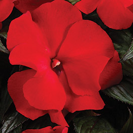 RUFFLES™ Red New Guinea Impatiens