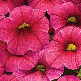 SUPERBELLS® Cherry Red Improved Calibrachoa