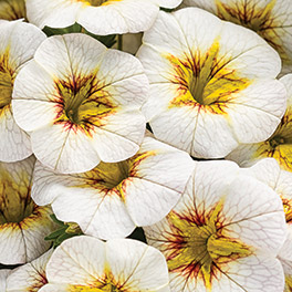 SUPERBELLS® Frost Fire Calibrachoa