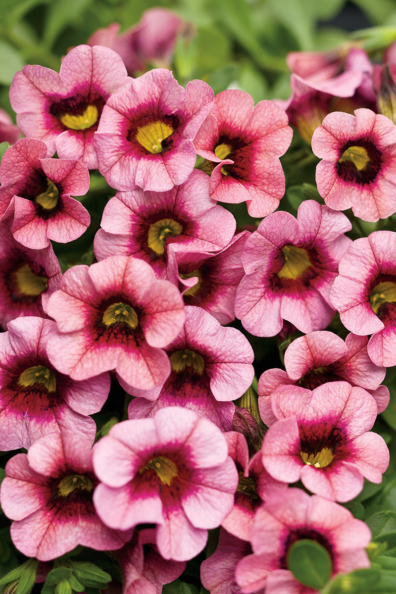 Click image to enlarge - Calibrachoa superbells ...