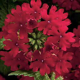 SUPERBENA® Royale Red Verbena