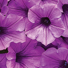 SUPERTUNIA® Indigo Charm Improved Petunia