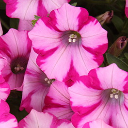 SUPERTUNIA® Rose Blast Charm Petunia