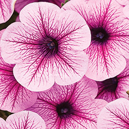 SUPERTUNIA® Mini Rose Veined Improved Petunia