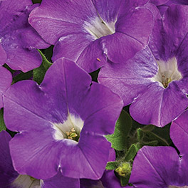 SUPERTUNIA® Morning Glory ?Charm Petunia
