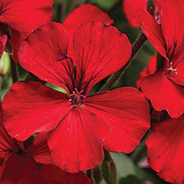 TIMELESS™ Fire Pelargonium