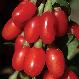 BIG LIFEBERRY® Lycium (Goji Berry)