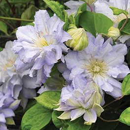 &#8216Diamond Ball' Clematis