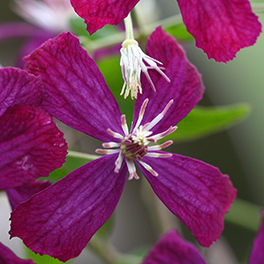 &#8216Sweet Summer Love' Clematis