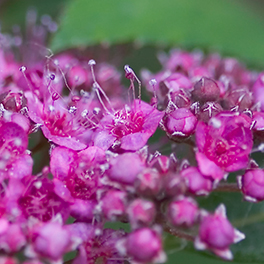 DOUBLE PLAY® ARTISAN™ Spiraea
