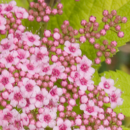 DOUBLE PLAY® BIG BANG™ Spiraea
