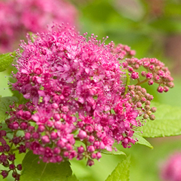 DOUBLE PLAY® Gold Spiraea