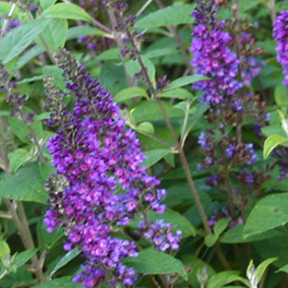 LO & BEHOLD® 'Blue Chip Jr.' Buddleia