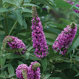LO & BEHOLD® 'Pink Micro Chip' Buddleia