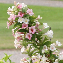 SONIC BLOOM® Pearl Weigela
