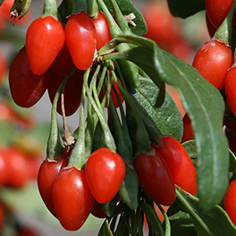 SWEET LIFEBERRY® Lycium (Goji Berry)