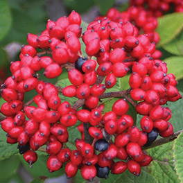 RED BALLOON™ Viburnum