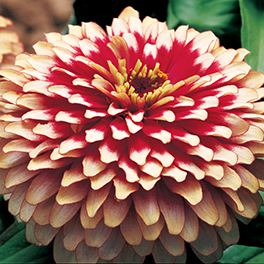 SWEET TOOTH™ Candy Cane Zinnia