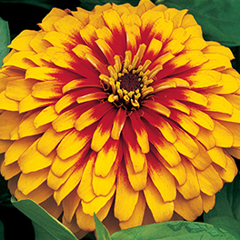 SWEET TOOTH™ Candy Corn Zinnia