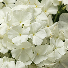 INTENSIA® White Improved Phlox
