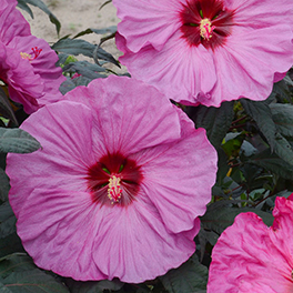 SUMMERIFIC® 'Berry Awesome' Hibiscus