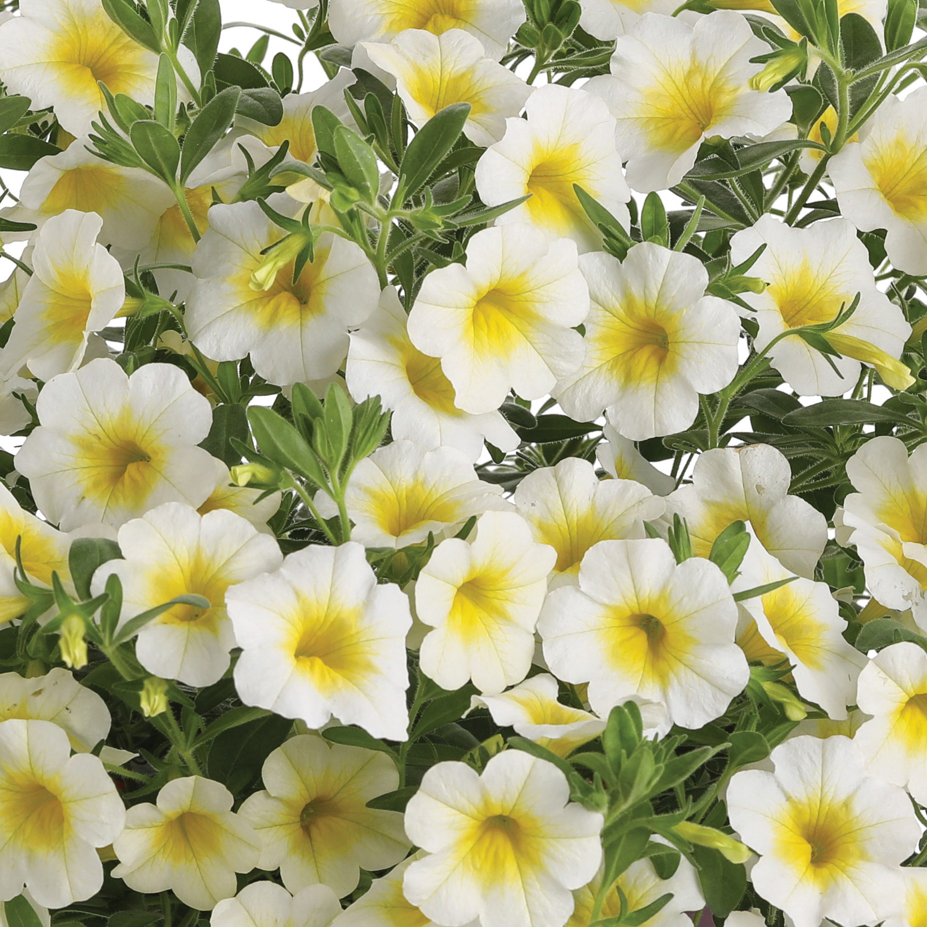 2018 new plants four star greenhouse - Calibrachoa superbells ...