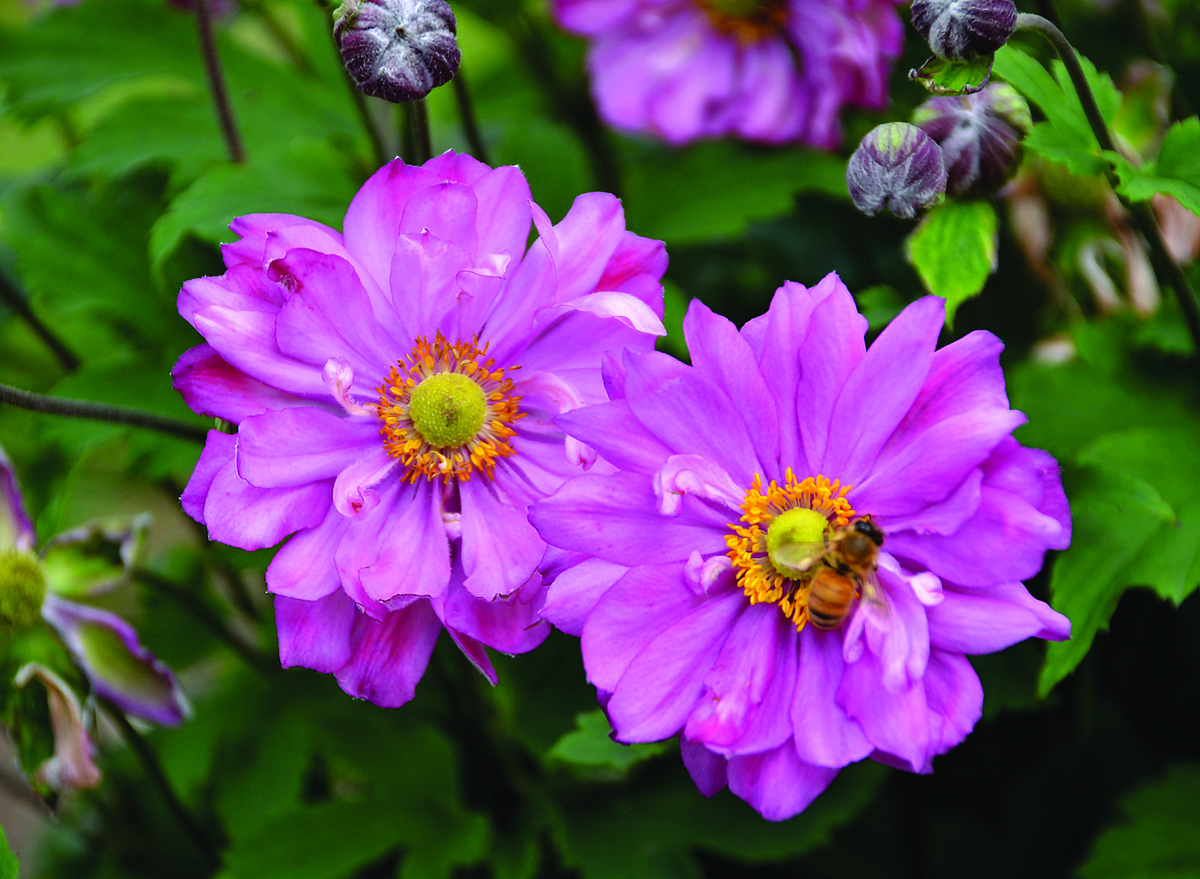 Proven Winners And Proven Selections Perennials Four Star Greenhouse