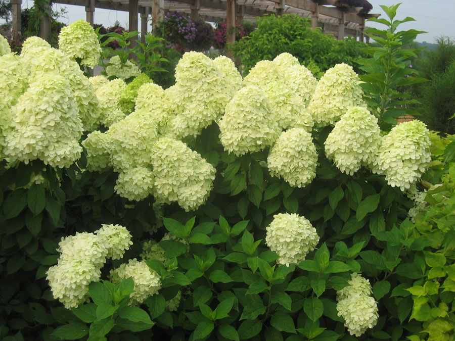 colorchoice flowering shrubs four star greenhouse. Black Bedroom Furniture Sets. Home Design Ideas