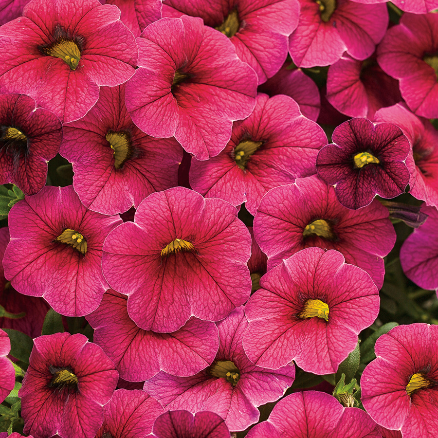 Annuals four star greenhouse - Calibrachoa superbells ...