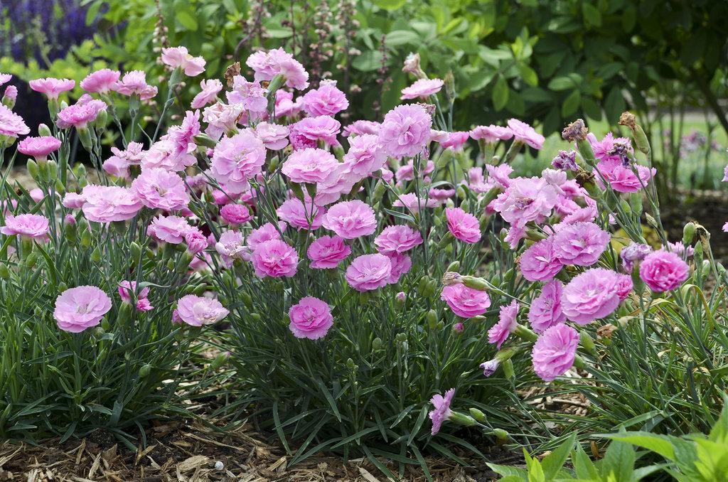 Розовые ароматные садовые цветы фото можете купить