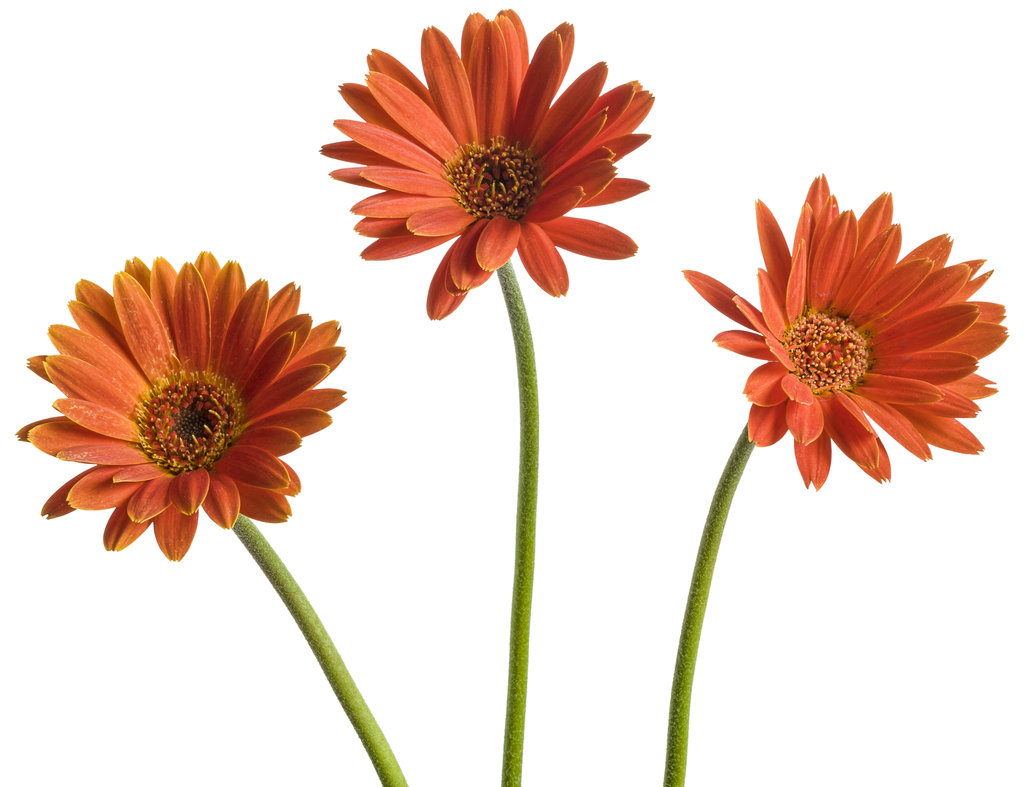 how to get rid of powdery mildew on gerbera daisy