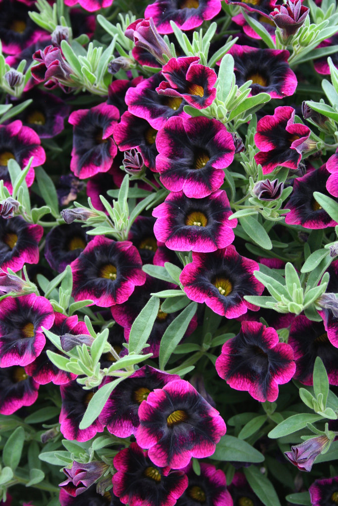 Plant information four star greenhouse - Calibrachoa superbells ...