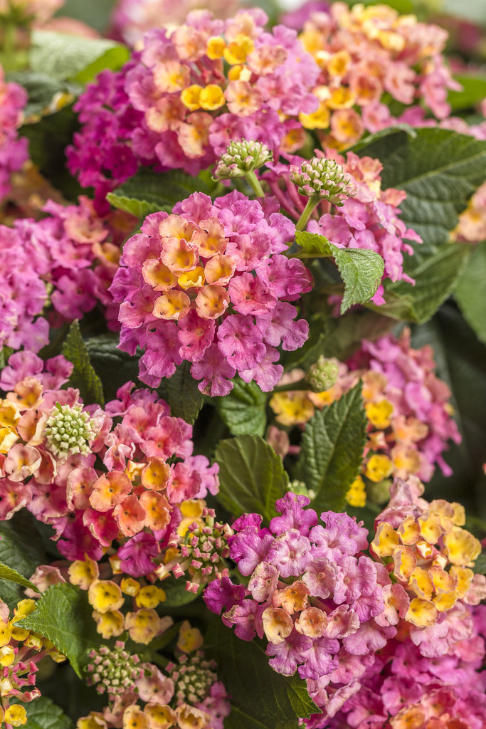 Lantana Hanging Basket Awesome Plant Information Four Star Greenhouse