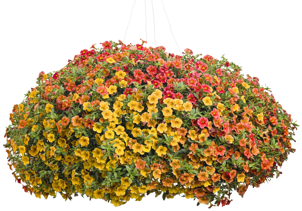 Clematis Edda Boulevard White Flower Farm - oukas.info