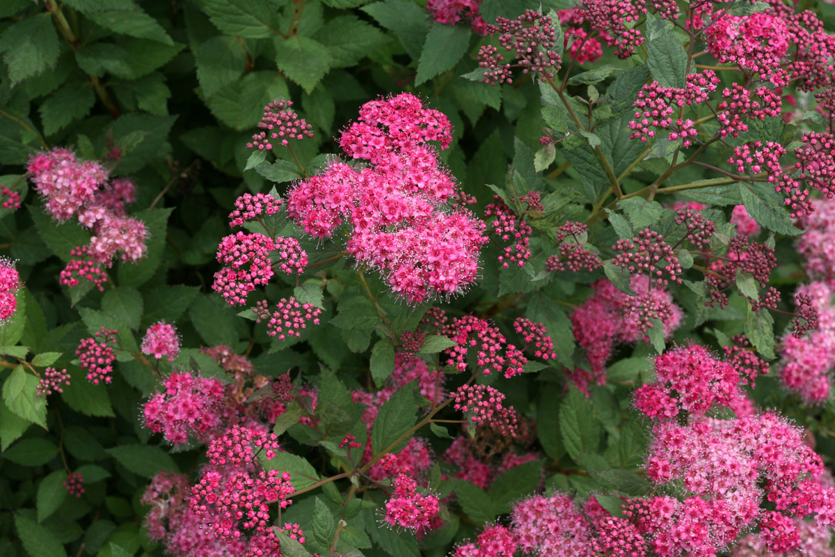 PROVEN WINNERS® COLORCHOICE® Flowering Shrubs | Four Star ...