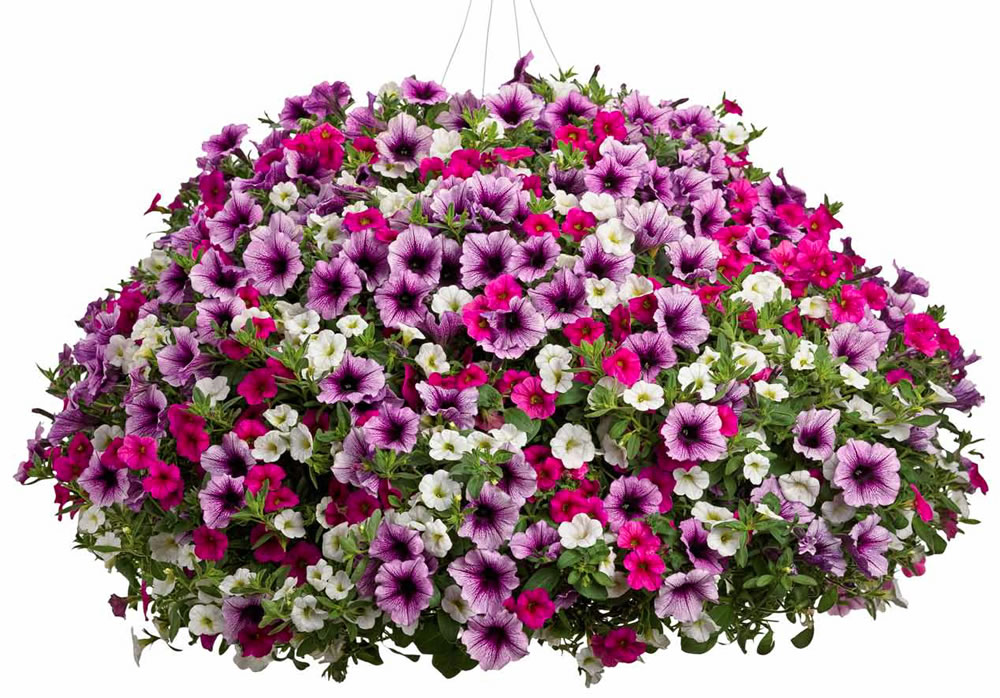 1000  images about Supertunia Petunias on Pinterest | Petunias ...