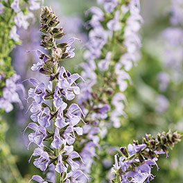 COLOR SPIRES® 'Crystal Blue' Salvia