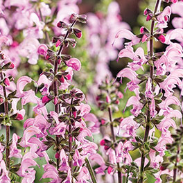 COLOR SPIRES® 'Pink Dawn' Salvia