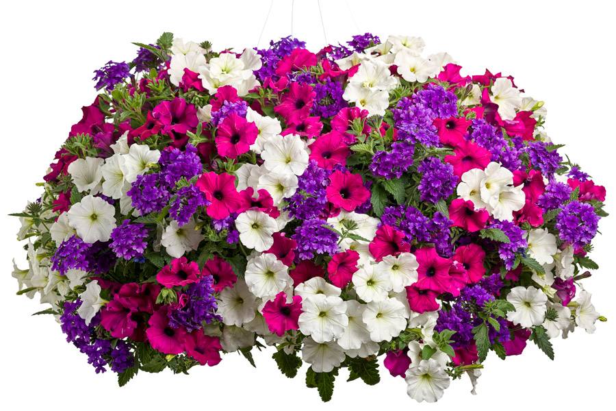Best Flower Combinations For Hanging Baskets : Four star combination recipes greenhouse