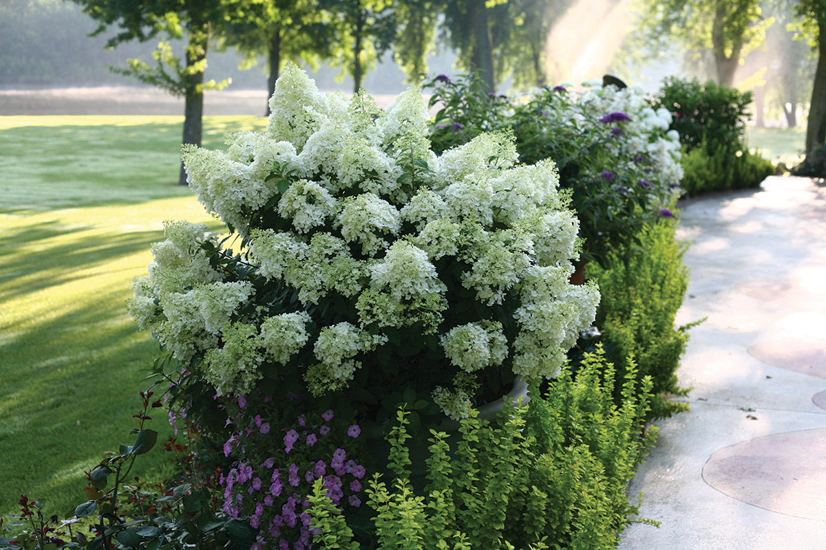 Shrubs With Year Round Color Four Star Greenhouse