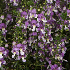 ANGELFACE® Wedgwood Blue Improved Angelonia