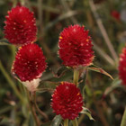 FOREST™ Red Gomphrena
